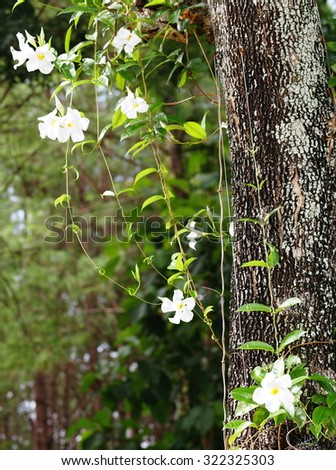 tropical garden decorative green leaves plant with large bright white flower creeping on a big tree with brown bark outdoor in nature under natural sunlight and bokeh background - stock photo