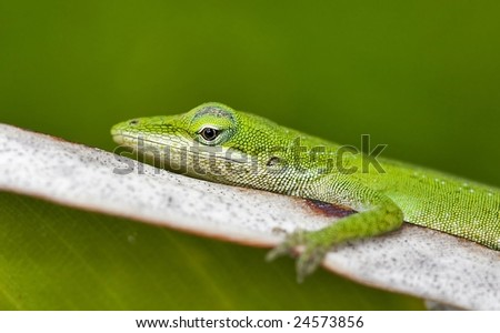 Tropical Green Lizard, Up Close Detailed Macro View, Shallow Depth of Field - stock photo
