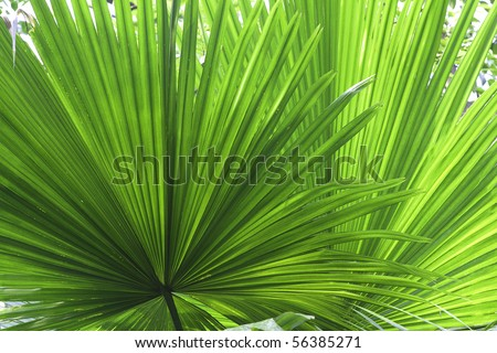 tropical leaf green background texture with copy space veins rainforest palm tree close-up jungle - stock photo