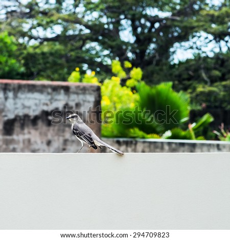 Tropical mocking bird resting on the wall square composition - stock photo