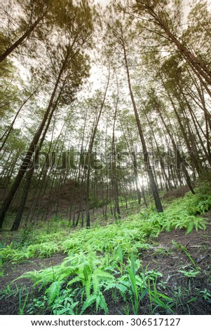 Tropical Pine Forest at Wat Chan Royal Project, Chiangmai, Thailand (orange-blue cross-color tone) - stock photo