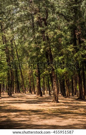 Tropical Pine Forest in Thailand - stock photo
