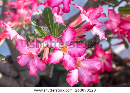tropical pink flowers frangipani (plumeria) - stock photo