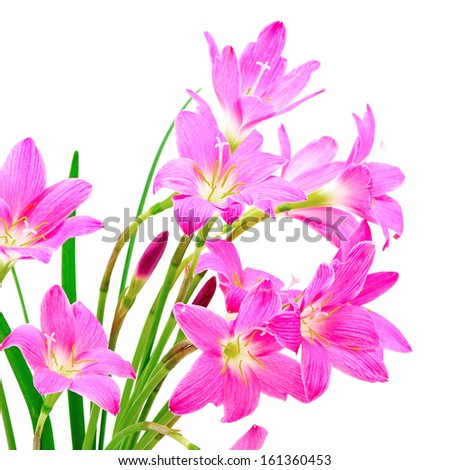 Tropical pink ground flower, Zephyranthes Lily, Rain Lily, Fairy Lily or Little Witches, isolated on a white background  - stock photo