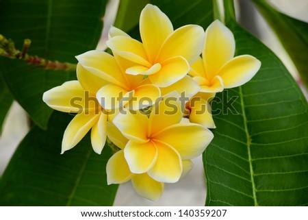 Tropical Plumeria, Frangipani flowers - stock photo