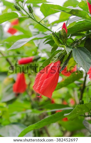 Tropical red hibiscus flower and buds on the bush green hedge in the rural garden of Vietnam. Natural floral background, warm light. Beautiful red flower again greenery. Selective focus, shallow DOF. - stock photo