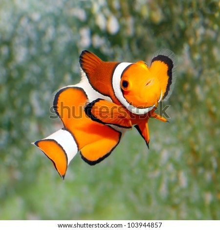 Tropical reef fish - Clownfish (Amphiprion ocellaris) Macro with shallow DOF. - stock photo