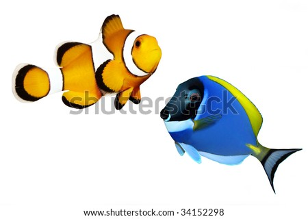 Tropical reef fish - Clownfish and Surgeonfish - isolated on white background - stock photo