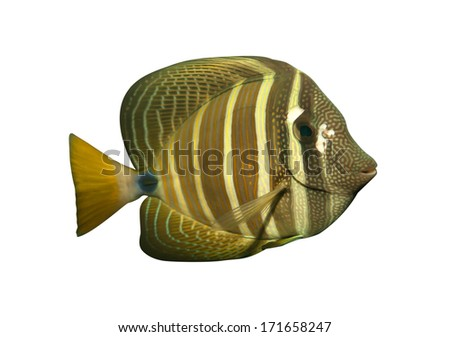 Tropical reef fish isolated - stock photo