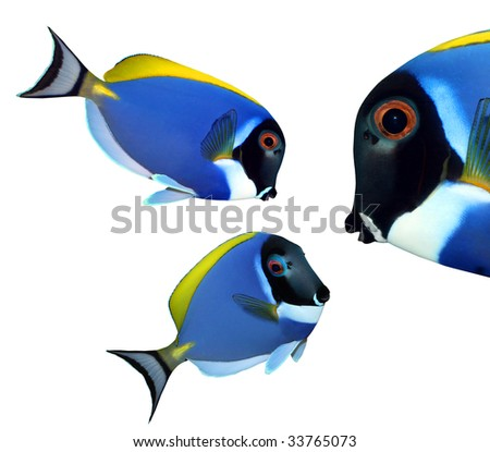 Tropical reef fish - Surgeonfish - Zebrasoma - collection isolated on white background - stock photo