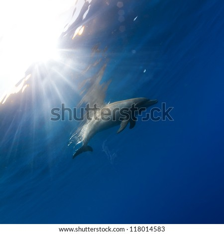 tropical seascape with wild dolphin swimming underwater close the sea surface between sunrays - stock photo