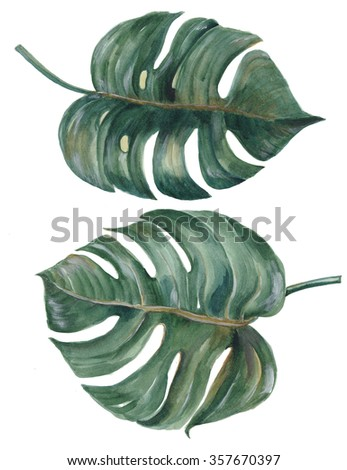 tropical Split Leaves Philodendron plant botanic watercolor painting on white background - stock photo