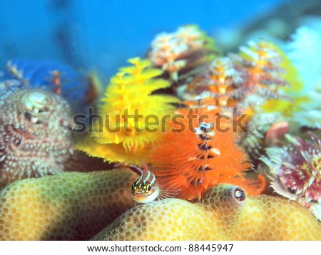 Tropical striped triplefin and Christmas tree worms, Koh Tao Island, Thailand - stock photo