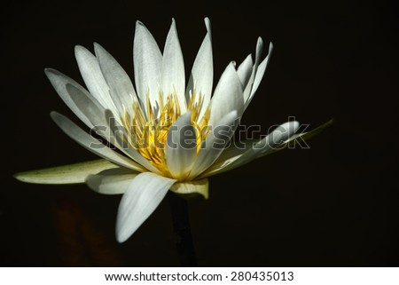 Tropical Water Lily - stock photo