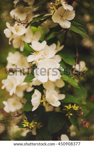 Tropical white flower, Sampaguita Jasmine, with natural blurred background. Rainy summertime. - stock photo