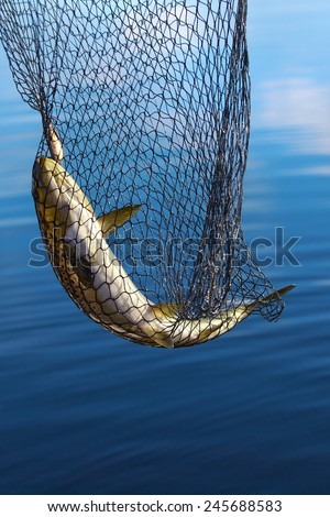 Trout in scoop net, fishing from boat on lake Inari in Lapland (Finland). - stock photo