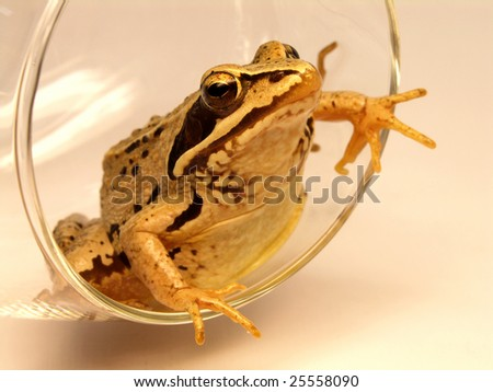 True frog (Rana) inside tall wineglass - stock photo