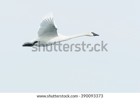 Trumpeter Swan flying across the overcast sky. - stock photo