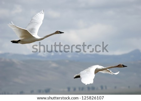 Trumpeter Swans (Cygnus buccinator) flying - stock photo