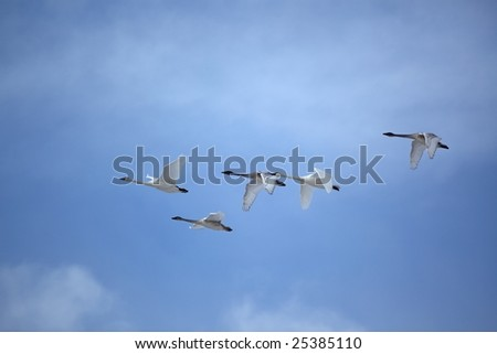 Trumpeter swans flying with military precision - stock photo