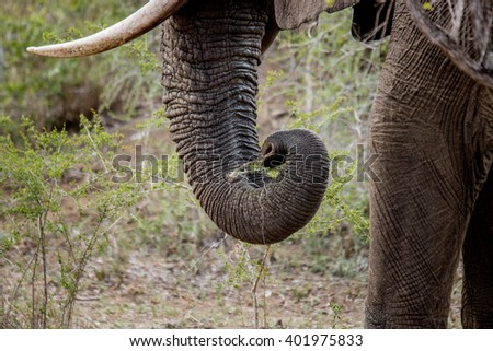Trunk of grazing Elephant in the Kruger National Park, South Africa. - stock photo
