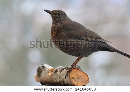 trush bird - stock photo