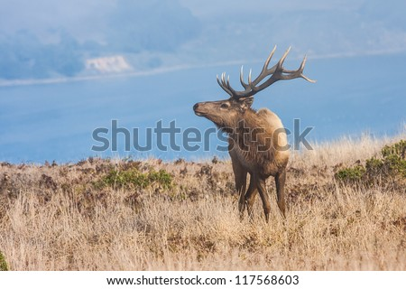 Ttule elk in Point Reyes National Seashore, California - stock photo