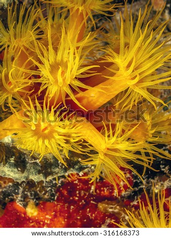 Tubastrea, also known as sun coral or sun polyps, is a genus of coral in the phylum Cnidaria. It is a cup coral in the family Dendrophylliidae. - stock photo