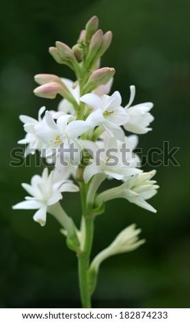 Tuberose or Rajnigandha of Southeast Asia - stock photo