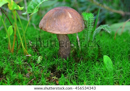 Tubular edible mushroom in the moss in forest - stock photo