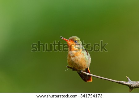 Tufted Coquette, female of colorful hummingbird with orange crest and collar in the green and violet flower habitat,  Trinidad - stock photo
