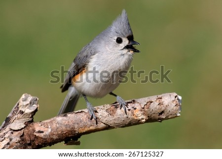 Tufted Titmouse (baeolophus bicolor) on a log with a green background - stock photo