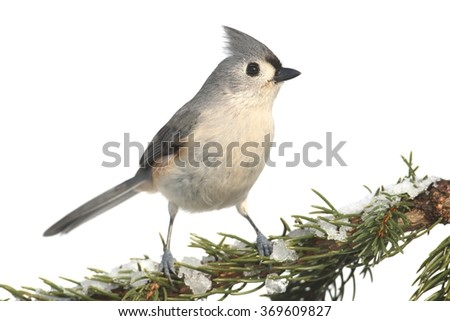 Tufted Titmouse (baeolophus bicolor) on a tree in with snow - stock photo