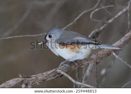 Tufted Titmouse (Baeolophus bicolor) with a seed in its beak - Ontario, Canada  - stock photo