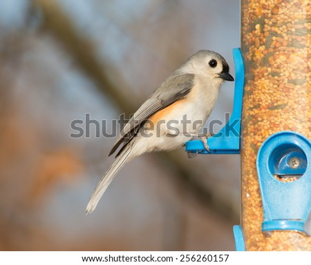 Tufted Titmouse looking for seeds at a bird feeder - stock photo
