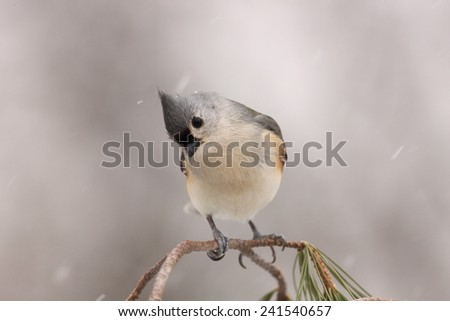 Tufted Titmouse on branch looking down with snow falling - stock photo