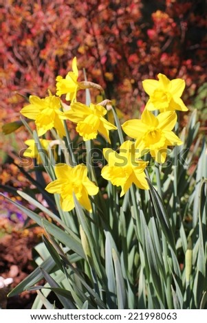 Tufts of yellow daffodils blooming in spring planted with a red foliage background. - stock photo