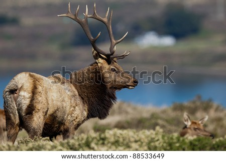 Tule Elk (Cervus canadensis) in a wilderness at Point Reyes National Seashore, California. - stock photo