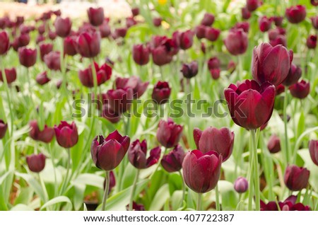 Tulip. Beautiful bouquet of tulips and selective focus - stock photo