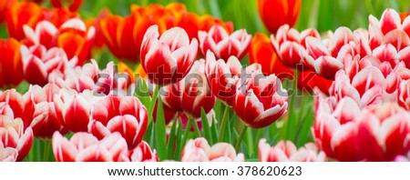 Tulip. Beautiful bouquet of tulips. colorful tulips. tulips in spring - stock photo