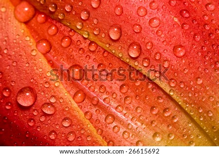 tulip bud texture with water droplets - stock photo