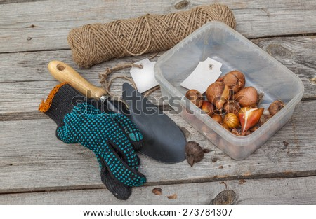 Tulip bulbs before planting near a shovel and work gloves on wooden table - stock photo