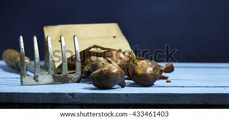Tulip bulbs with a raker on a blue wooden background. - stock photo