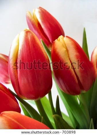 Tulip bunch red yellow flowers - stock photo