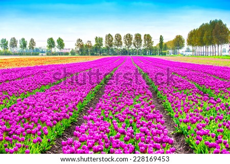 Tulip colorful blossom flowers cultivation field in spring. Keukenhof, Holland or Netherlands, Europe. - stock photo