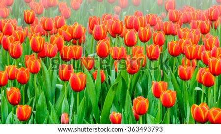 Tulip. colorful tulips.  beautiful orange tulips blooming in the garden with shallow depth of field - stock photo
