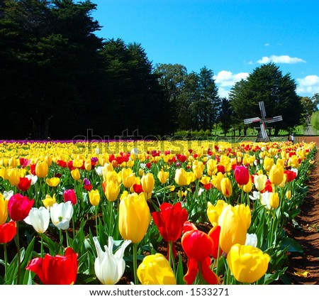 Tulip Farm - stock photo