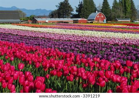 Tulip Farm - stock photo