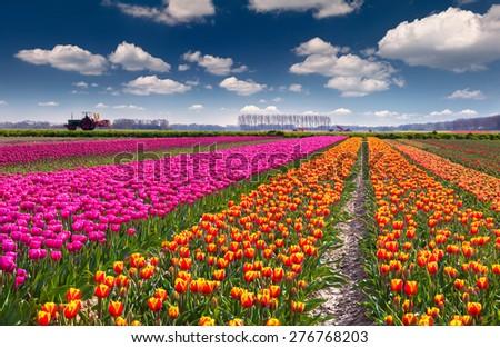 Tulip farm near the Rutten town. Beautiful outdoor scenery in Netherlands, Europe. - stock photo