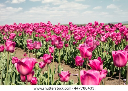 Tulip field. Field with pink tulips. Group of pink tulips in the park. Spring landscape. - stock photo
